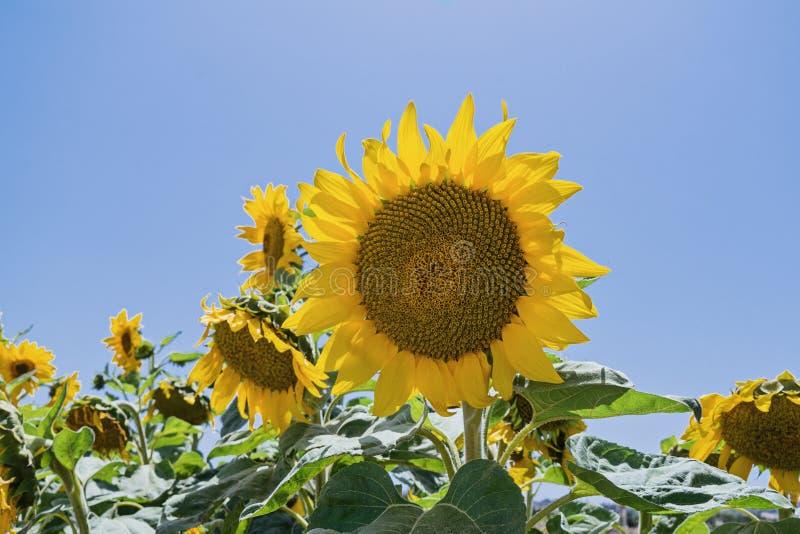 Ein Gänseblümchen ähnlicher Gesichtssonnenblumenplan gegen blauen Himmel lizenzfreie stockfotos