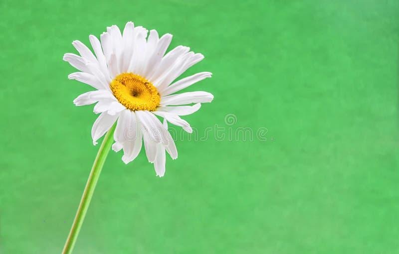 Ein Gänseblümchen auf grünem Hintergrund lizenzfreie stockbilder