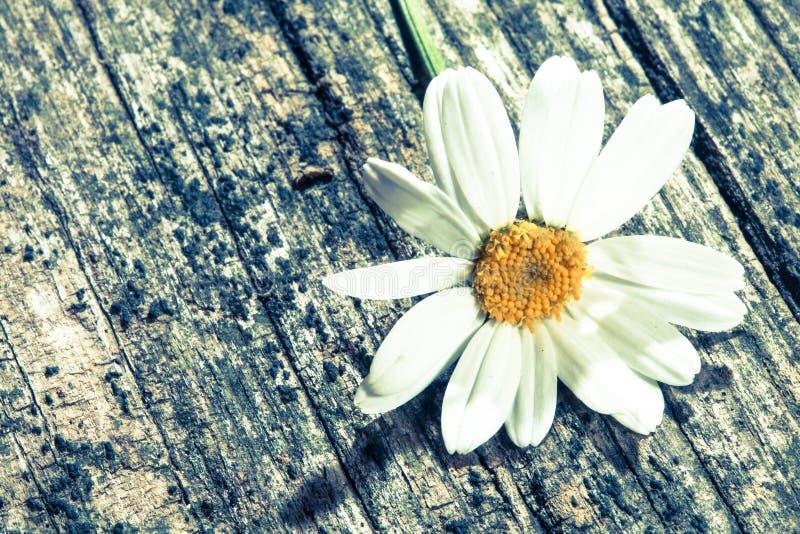 Ein Gänseblümchen auf Holz lizenzfreie stockfotos