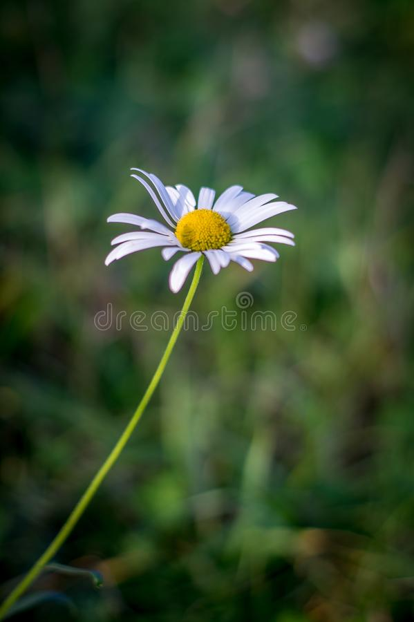 Ein Gänseblümchen, das im Wind in einer Graswiese durchbrennt lizenzfreies stockfoto