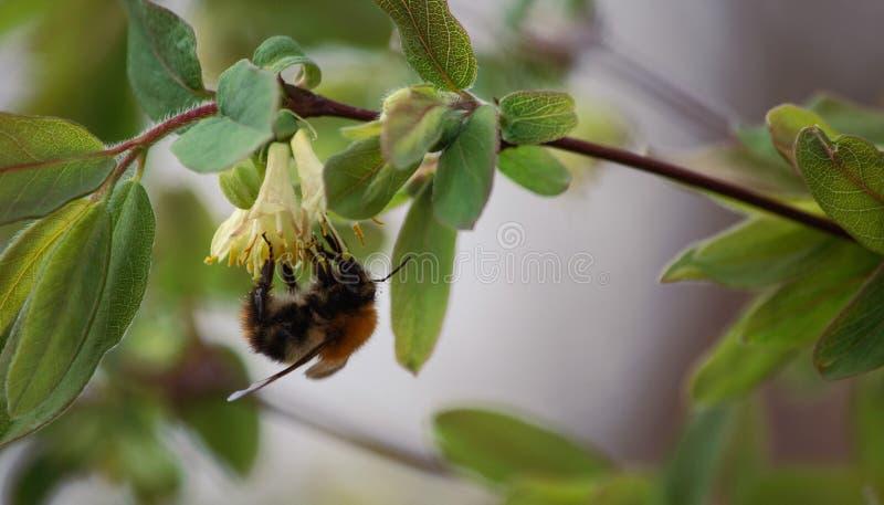 Ein garthering Nektar der Hummel an den Gei?blattblumen lizenzfreie stockbilder