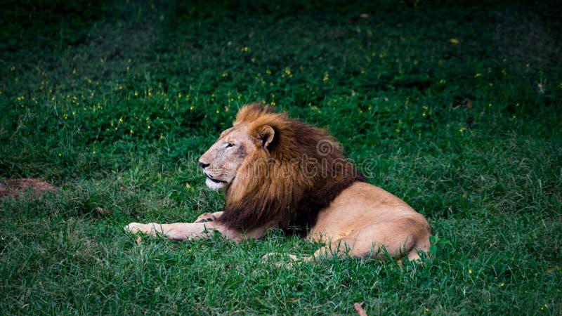 Ein gealterter afrikanischer Löwe stockbilder
