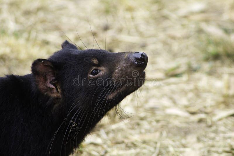 Ein gefährdeter femaleAustralian Beuteltier tasmanischer Teufel schnüffelt die Luft, während sie nach Nahrung sucht stockfoto