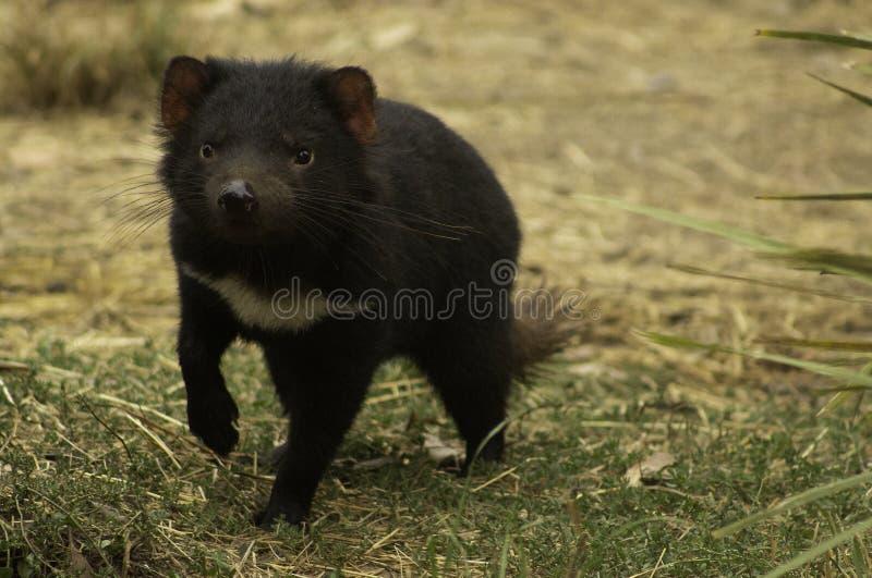 Ein gefährdeter weiblicher tasmanischer Teufel, der durch bushland sich anpirscht lizenzfreie stockfotografie