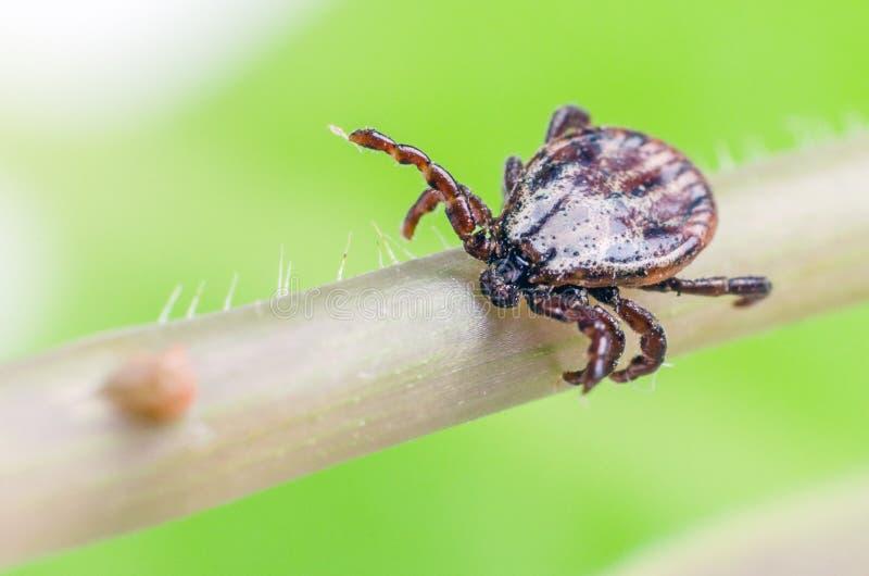 Ein gef?hrlicher Parasit und ein Tr?ger der Milbeninfektion auf einer Niederlassung stockfotografie