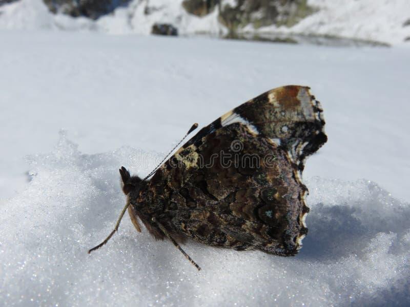 Ein gefrorener schöner Schmetterling im Schnee lizenzfreies stockfoto