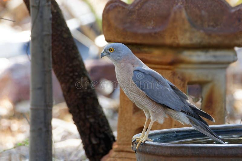 Ein gehocktes ergattertes Sparrowhawk lizenzfreie stockbilder