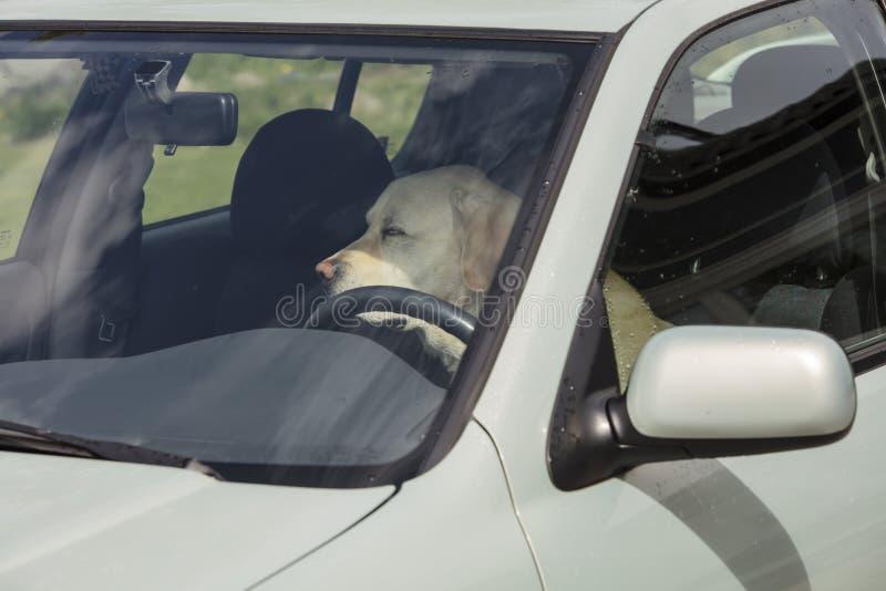 Ein Gelb Labrador-Hund sitzt in einem Löschwagen in Finnland lizenzfreie stockfotos