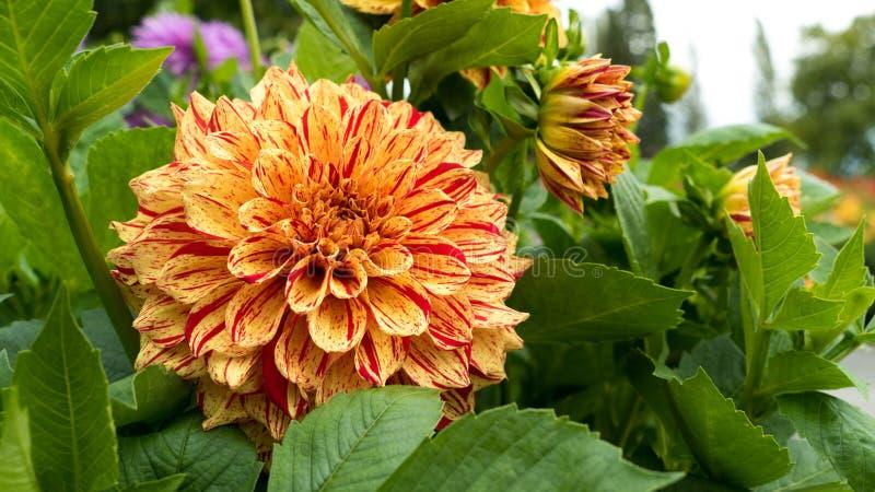 Ein Gelb, ein Rot, eine Orange und ein Pfirsich färbten Dalia-/Dahlienblüte in voller Blüte Die Blume ist sehr bunt und blüht stockfotografie