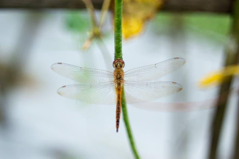 Ein gelber Libellengriff auf Spargelbohne lizenzfreies stockbild