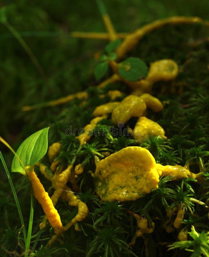 Ein gelber Plasmodium einer Schlammform auf einem Gras stockbild