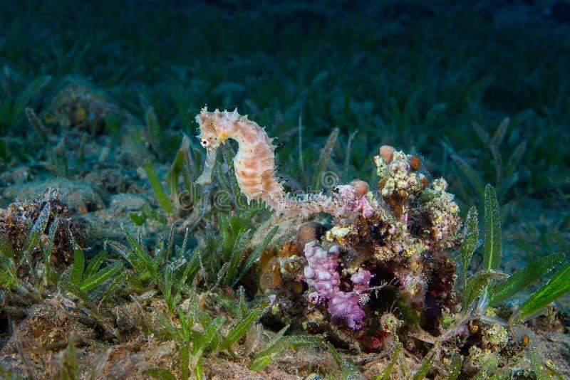 Ein gelber weiblicher gemeiner Seahorse (Hippokamp Taeniopterus) auf Th lizenzfreie stockbilder