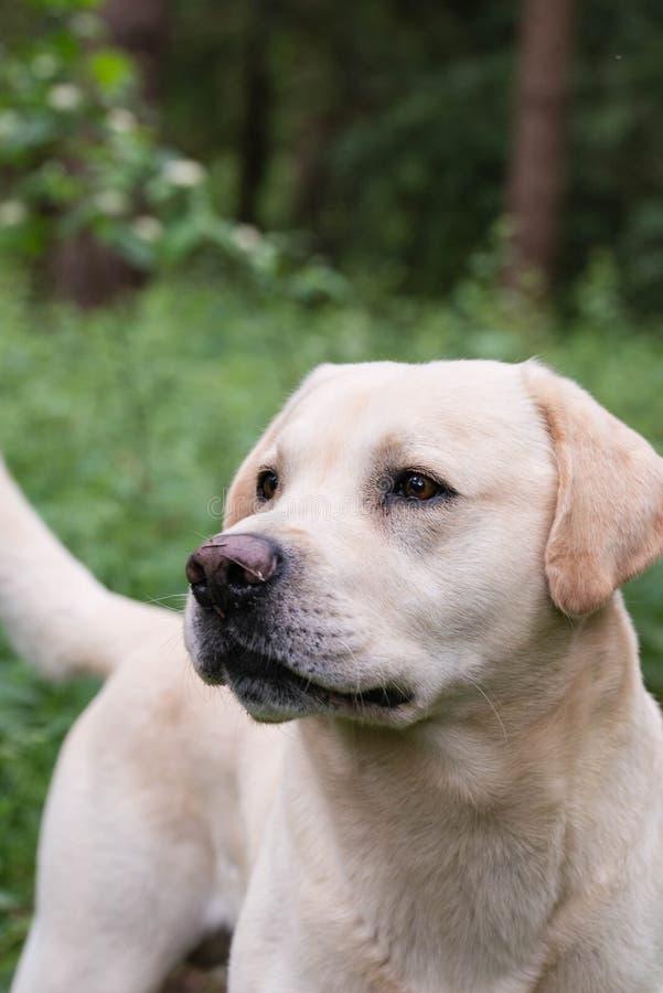 Ein gelbes Labrador, das während eines Wegs wachsam schaut stockfotografie