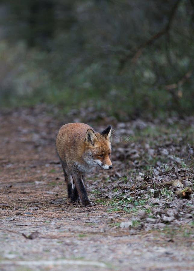 Ein gemeiner roter Fuchs lizenzfreie stockbilder