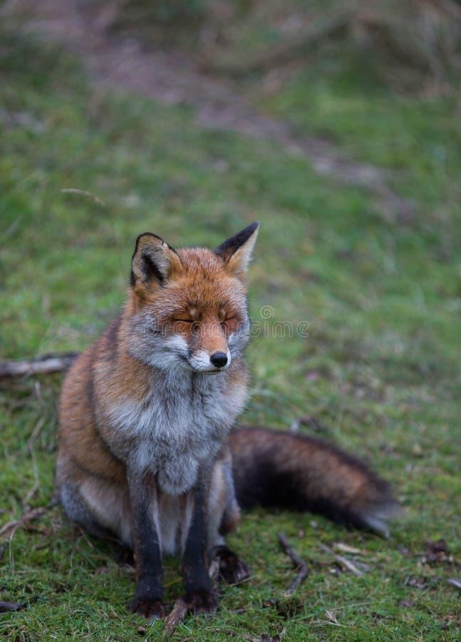 Ein gemeiner roter Fuchs lizenzfreies stockbild