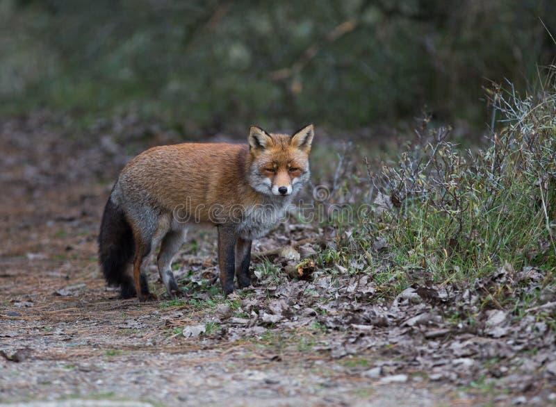 Ein gemeiner roter Fuchs stockbilder