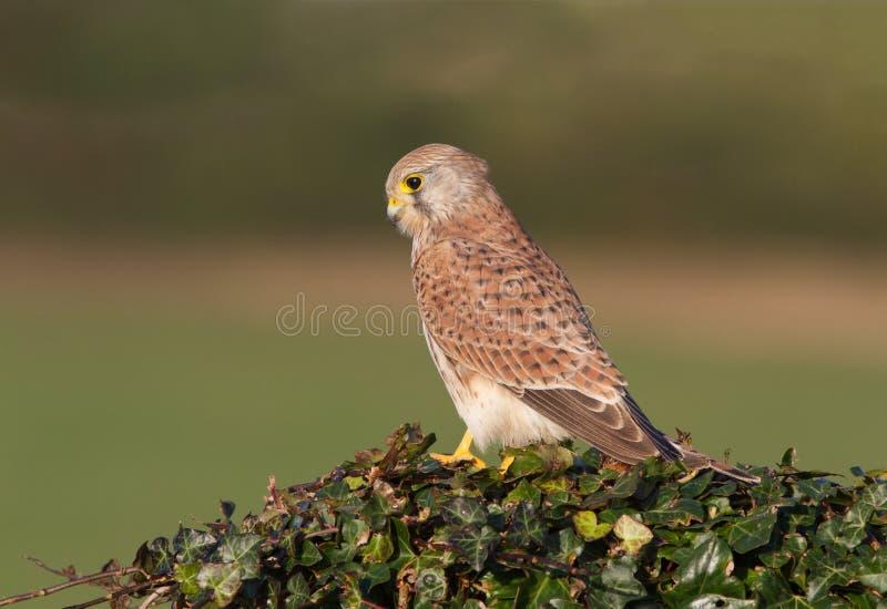 Ein gemeiner Turmfalke, Falco-tinunculus, erwachsene Frau hockte stockfotografie