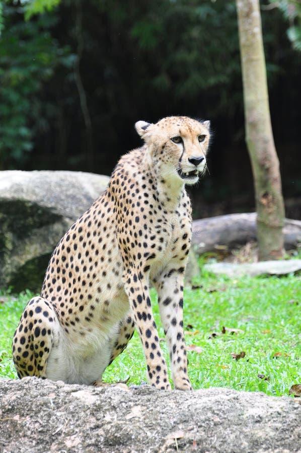Ein Gepard stockbild