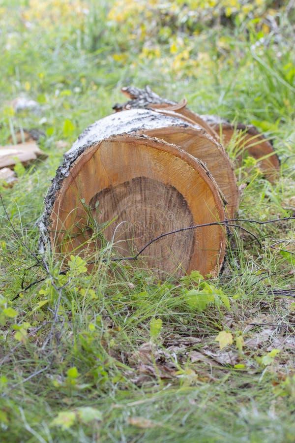 Ein gesägter Birkenstamm auf Gras, schöner Schnitt eines Baums mit beständigen Ringen, vertikaler Schnitt lizenzfreies stockbild