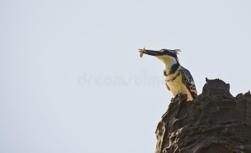Ein gescheckter Eisvogel mit einem Fisch stockbild