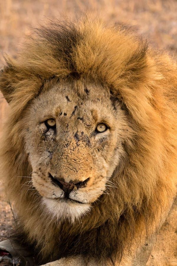 Ein geschrammter alter männlicher Löwe starrt den Zuschauer an lizenzfreie stockfotografie