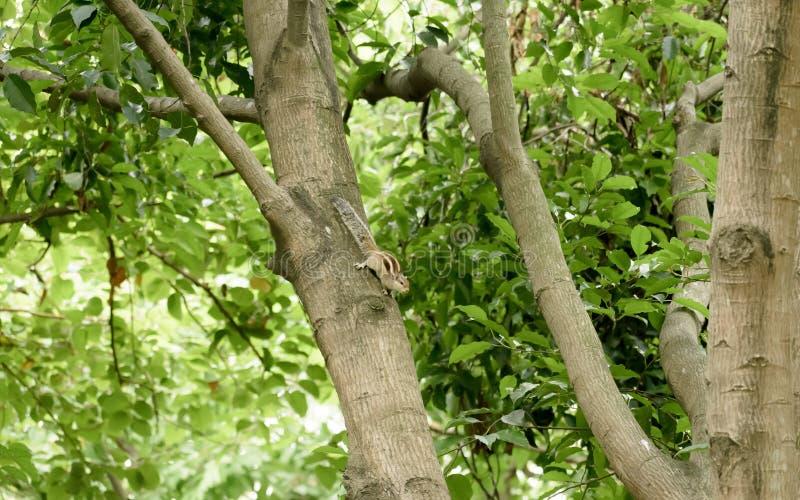 Ein gestreibender Nagetier marmots chipmunks Eichhörnchen Sciuridae arboreal Arten von fliegenden Eichhörnchen Familie, die auf e stockbilder