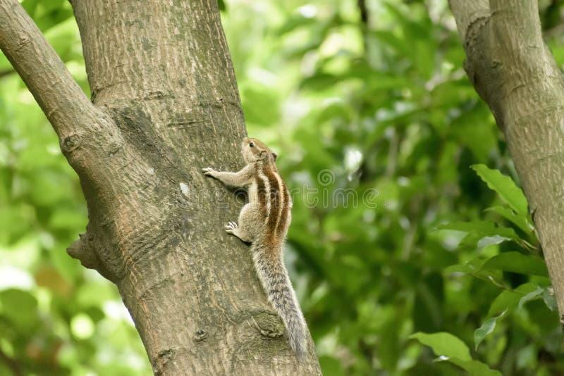 Ein gestreibender Nagetier marmots chipmunks Eichhörnchen Sciuridae arboreal Arten von fliegenden Eichhörnchen Familie, die auf e stockfoto