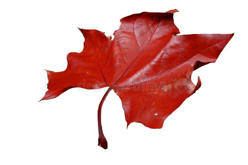 Ein getrenntes Ahornblatt stockfotografie