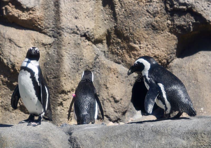 Ein gewatschelte von afrikanischen Pinguinen stockbilder