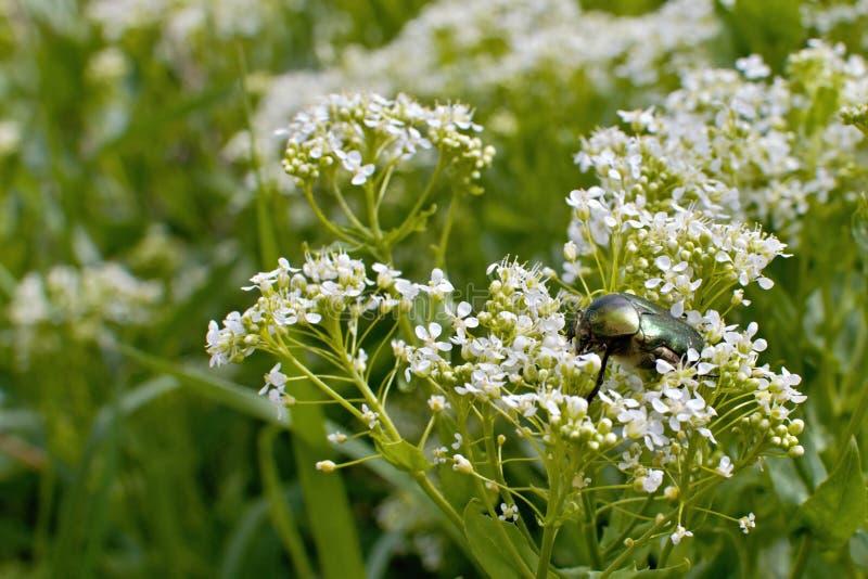 Ein glänzendes grünes beatle auf einer Blume im Wald lizenzfreie stockfotografie