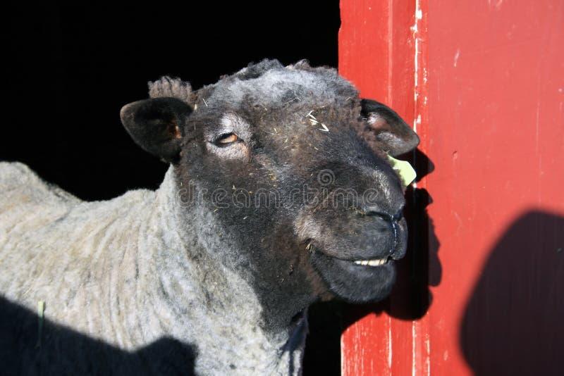 Ein glückliches lächelndes Schaf. lizenzfreie stockfotografie