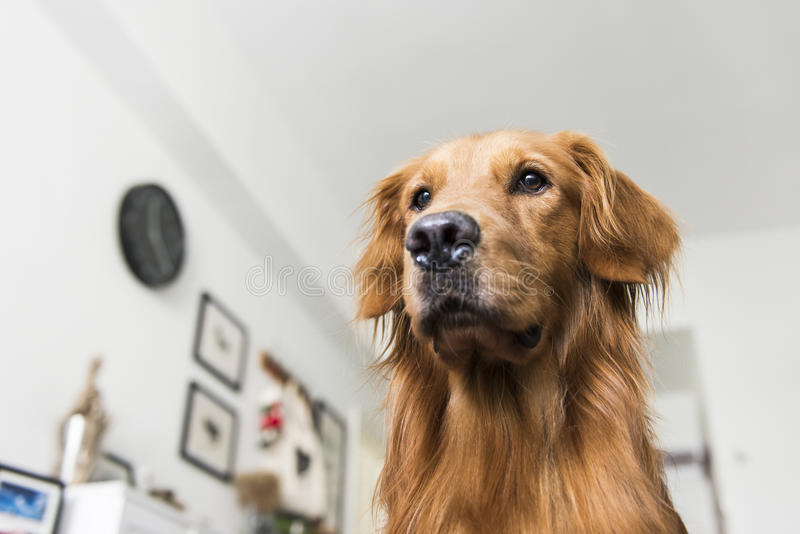 Ein golden retriever stockfotografie