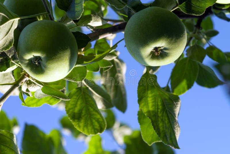 Ein grüner Apfel reift auf einem Apfelbaumast gegen den blauen Himmel lizenzfreies stockfoto