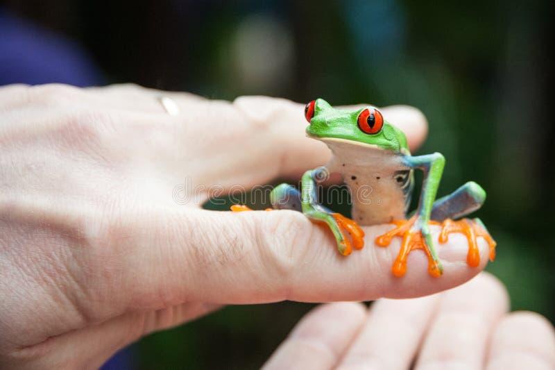 Ein grüner Baumfrosch sitzt auf einem Finger lizenzfreie stockfotos