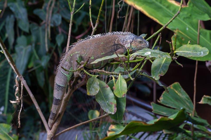 Ein grüner Leguan-Leguanleguan hängt heraus an einem Baumast im Regenwald, der seinen Körper in voller Länge und langatmiges Ends lizenzfreies stockbild