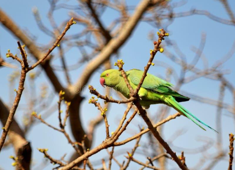 Ein grüner Parakeet stockbild