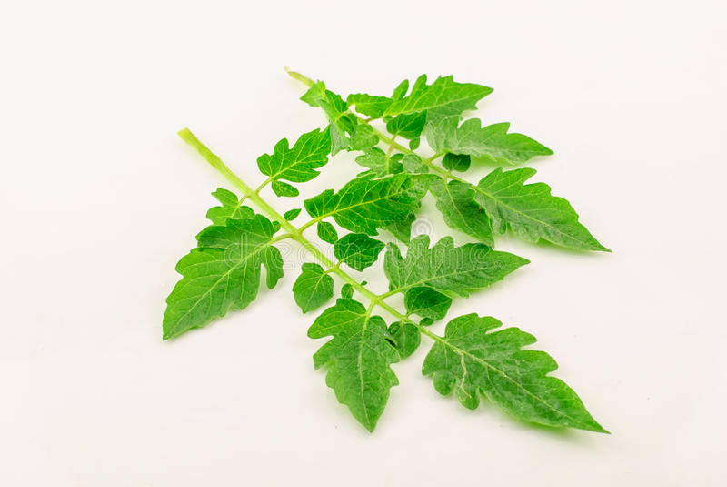 Ein grünes Blatt der Tomate stockfoto