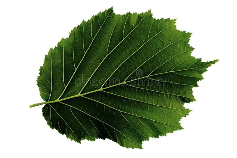 Ein grünes Blatt Haselnuss lokalisiert auf weißem Hintergrund, Unterseite des Blattes stockfotos