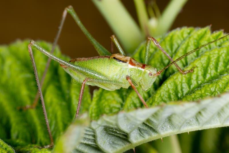 Ein grünes Kricket auf Himbeerblatt stockfoto