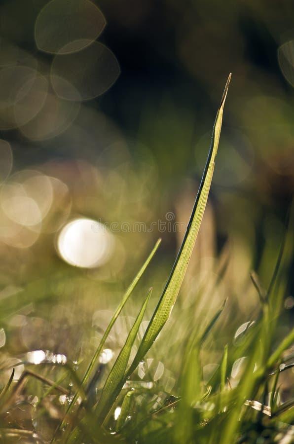 Ein Grashalm feucht vom Morgentau stockbilder