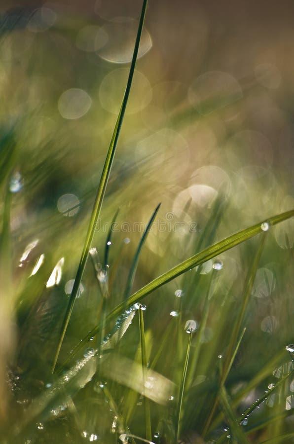 Ein Grashalm feucht vom Morgentau lizenzfreie stockfotografie