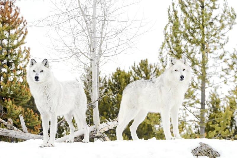 Ein grauer Timberwolf der Paare im Winter stockfotos