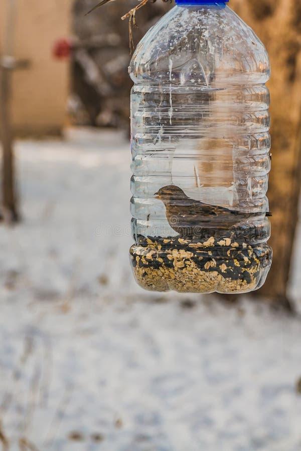 Ein grauer und brauner Spatz ist im transparenten Plastikflaschenzufuhrhaus im Park im Winter stockfotografie