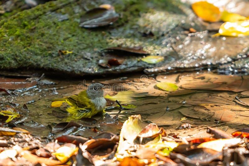 Ein grauer vorangegangener zitronengelber Schnäpper, der in einem Teich badet stockfoto