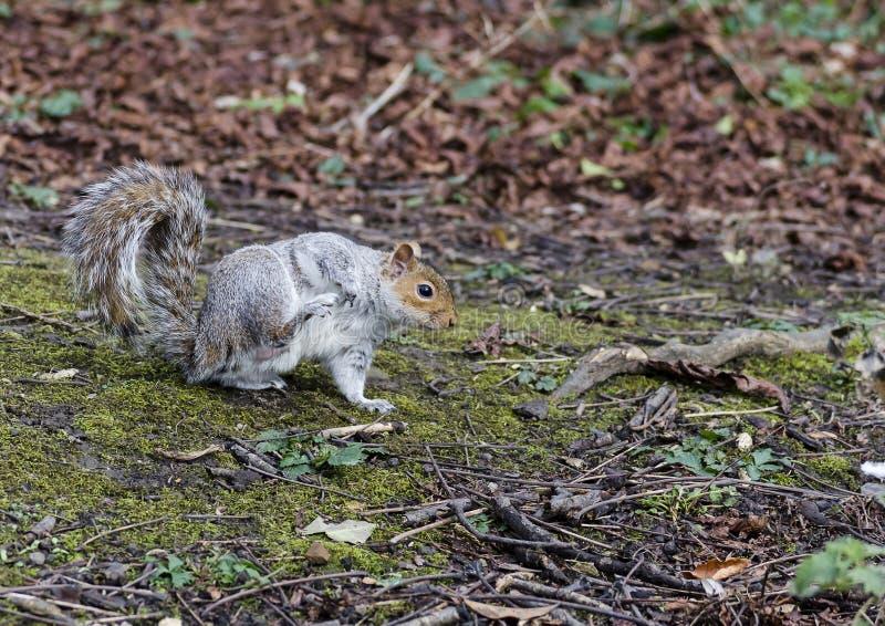 Ein graues Eichhörnchen, das einen Kratzer hat stockfotografie