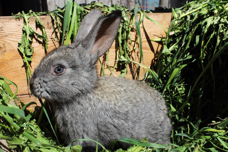Ein graues Kaninchen. stockbilder