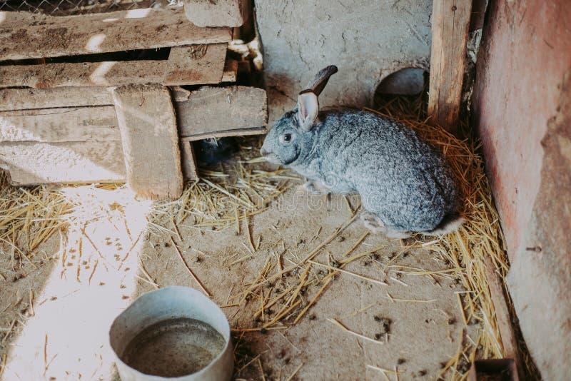 Ein graues Kaninchen im Heu auf dem Bauernhof Hübsches Kaninchen auf trockenem Gras stockfotos