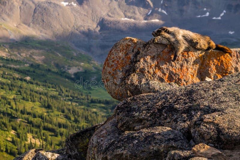 Ein grauhaariges Murmeltier tränkt oben die Sonne auf einem der kahlen Hügel emporragt i stockbilder