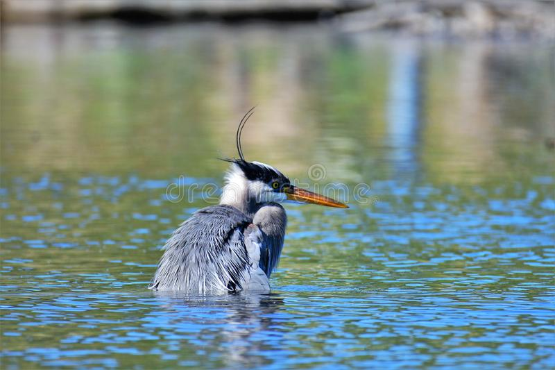 Ein Graureiher, der versucht, die Fische zu fangen nahaufnahme lizenzfreie stockfotos