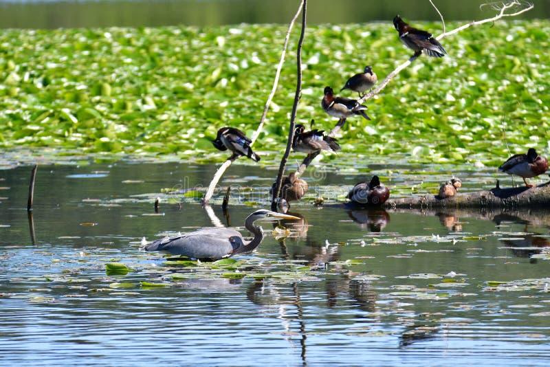 Ein Graureiher sucht nach kleinen Fischen, um zu essen lizenzfreies stockfoto